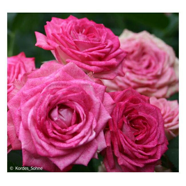 【バラ苗】 デュエット バルコニア 大苗 【京成バラ】 木立バラ 四季咲き