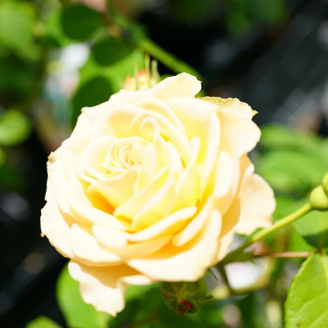 【バラ苗】 エメラルドアイル 大苗つるバラ 【京成バラ】 トゲが少ない 四季咲き アプリコット バラ 苗 薔薇