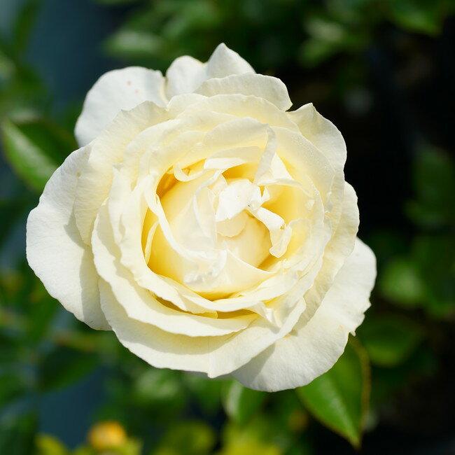 【バラ苗】 エルヴィス 7号スリット大苗 【ニルプ】 白色 バラ 苗 四季咲き HT 薔薇
