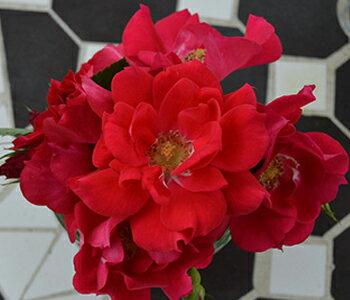 【バラ苗】 ファッショニスタ 7号スリット大苗木立性 【京成バラ】四季咲き 丸弁咲き 赤花 薔薇