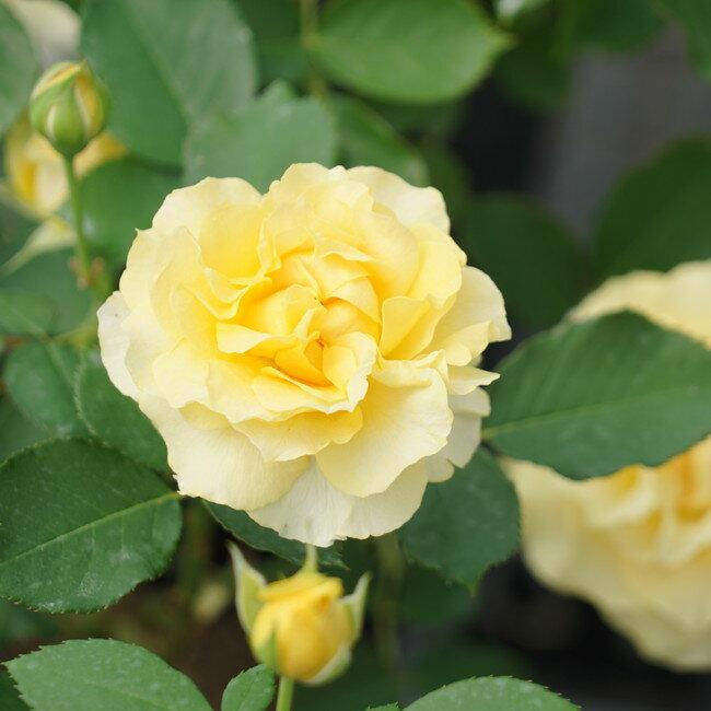 【バラ苗】 ハープシコード 【ロサオリエンティス】大苗 6号ポット クリームイエロー色 バラ 苗 四季咲き シュラブ系 中輪 薔薇