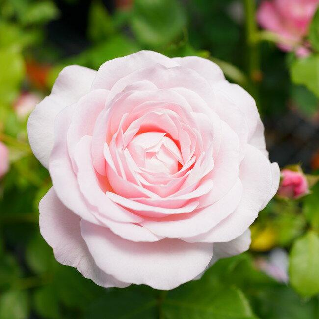 【バラ苗】 花ぼんぼり 木立バラ FL 【京成バラ】 トゲが 四季咲き