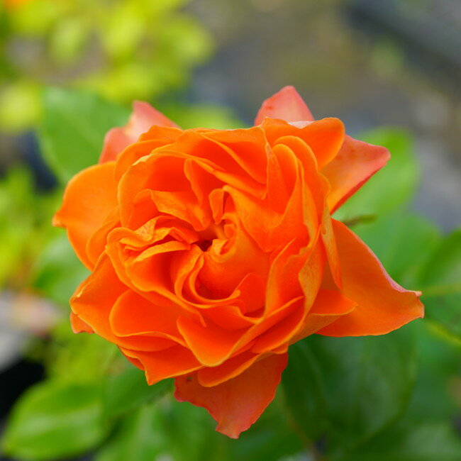【バラ苗】 ハニーキャラメル 木立バラ FL 【京成バラ】 四季咲き オレンジ色 バラ 苗 薔薇