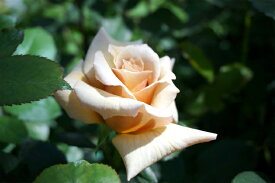 【バラ苗】 はつね 大苗 木立バラ 【河本バラ園】 四季咲き アプリコット 薔薇 バラ苗木