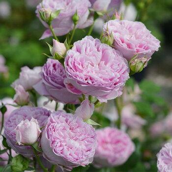 【バラ苗】 ホーラ 【ロサオリエンティス】大苗 6号ポット ピンク色 バラ 苗 四季咲き シュラブ系 中輪 薔薇