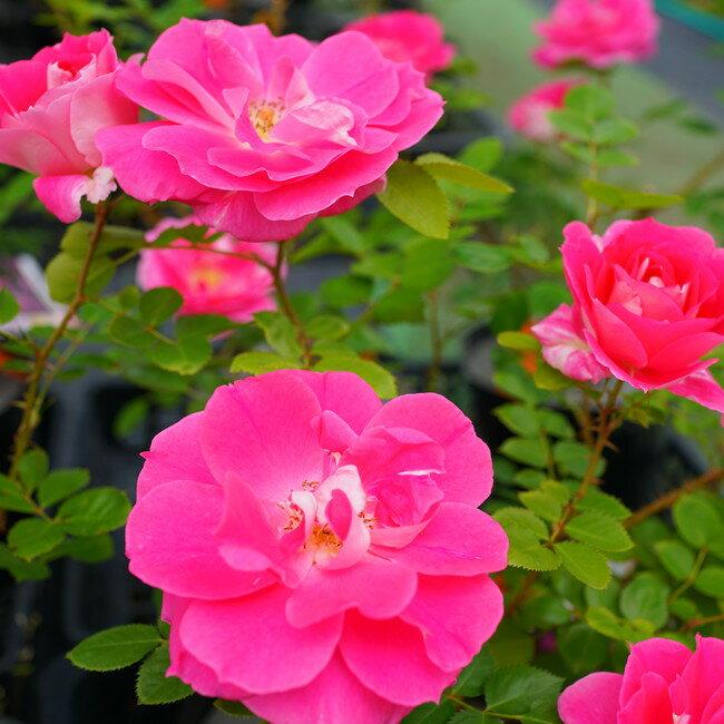 【バラ苗】 ケアフリーワンダー 大苗 木立バラ FL 【京成バラ】初心者に超おすすめ 四季咲き ピンク 強健 バラ 苗 薔薇