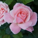 クイーン エリザベス 四季咲き