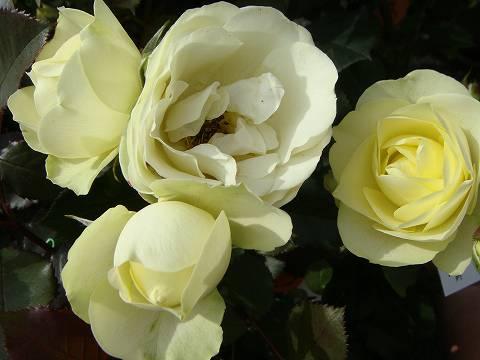 【バラ苗】 クリーミーエデン 大苗 木立バラ 【京成バラ】 四季咲き 黄色 バラ 苗 薔薇
