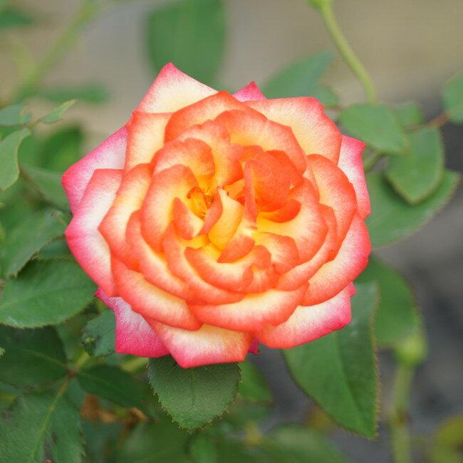 【バラ苗】 レオフィレ 7号スリット大苗 【ニルプ】 ローズピンク色 バラ 苗 四季咲き HT 薔薇