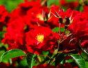 マイナーフェアー おすすめ 四季咲き