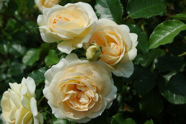 【バラ苗】 マリーアントワネット 大苗 木立バラ 【京成バラ】 四季咲き 白色 バラ 苗 薔薇 バラ苗木