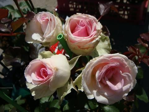 【バラ苗】 ミミエデン 大苗 木立バラ 【京成バラ】 四季咲き ピンク 薔薇 バラ苗木