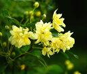 【バラ苗】 黄 モッコウバラ 八重 (オールドローズ) ポット苗黄色 バラ