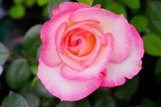 妮可龟分支树上升 FL 永久双色玫瑰植物玫瑰