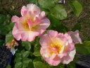 【バラ苗】 オリヴィエローランジェ ( デルバール ) (Del) 国産苗 大苗 6号ポット 四季咲き 複色 強香 強健 バラ 苗 薔薇