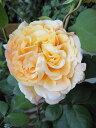 【バラ苗】 パピデルバール (大輪 デルバール ) (Del) 国産苗 大苗 6号ポット オレンジ色 強香 バラ 苗 薔薇