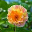 【バラ苗】 ラパリジェンヌ 大苗 デルバール (Del) 四季咲き オレンジ色 強健 薔薇 バラ苗木