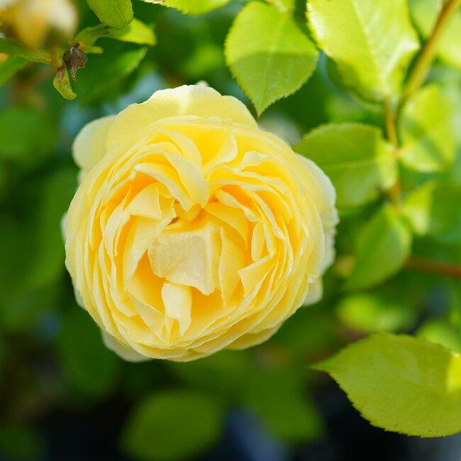 【バラ苗】 パトラッシュ 大苗 【ヤンスペック】 黄色 バラ 苗 四季咲き シュラブ系 薔薇