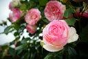 ■送料無料■ 【バラ苗】 ピエールドゥロンサール 3年生特大苗 つるバラ 初心者に超おすすめ つる性 ピンク バラ 苗 つるばら 薔薇 バ…
