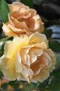 ■送料無料■【バラ苗】 ロイヤルサンセット 長尺苗 つるバラ 四季咲き オレンジ色 強香 苗 つるばら 【西濃運輸お届…