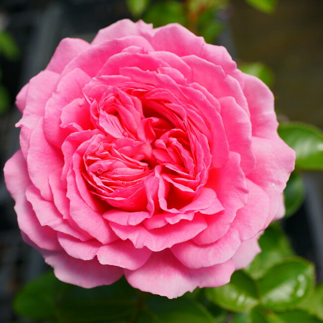 【バラ苗】 ラリッサバルコニア 大苗 【京成バラ】 木立バラ 四季咲き
