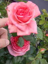 ラローズドゥモリナール 四季咲き キャンペーン