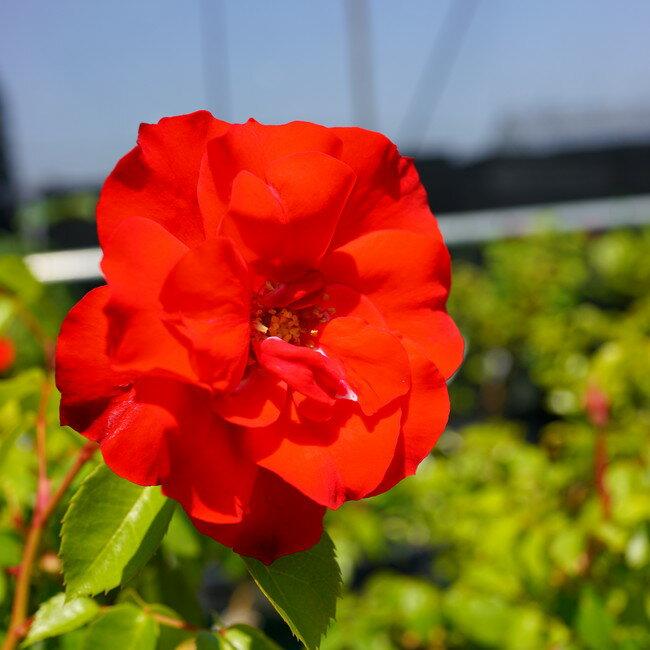 【バラ苗】 ラ セビリアーナ (FL) 7号スリット大苗 四季咲き 赤色 バラ 苗 薔薇【京成バラ】