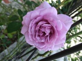 【バラ苗】レイニーブルー国産苗大苗6号ポット四季咲き青紫色バラ苗薔薇【京成バラ】