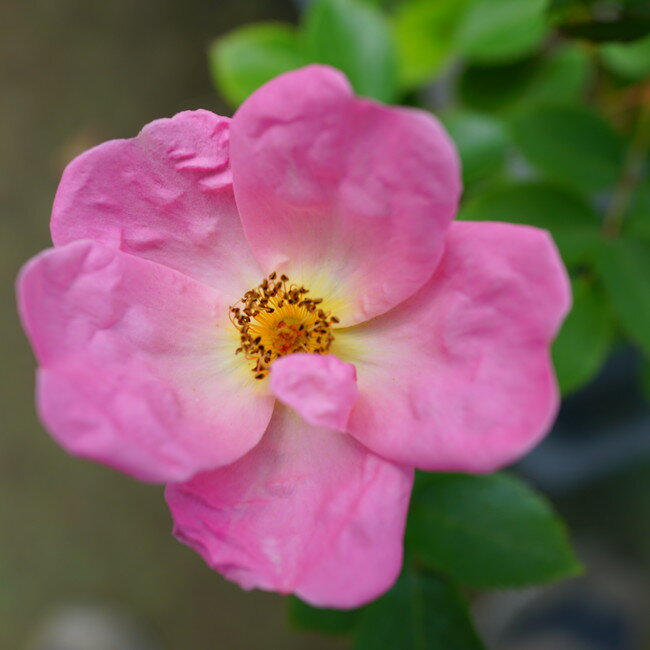 【バラ苗】 レインボーノックアウト 7号スリット大苗 木立バラ 【京成バラ】 四季咲き 複色 強健 バラ 苗 薔薇