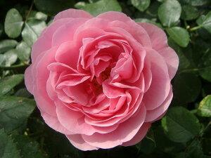 【バラ苗】 レオナルドダビンチ 1年生 新苗 つるバラ ピンク バラ 苗 つるばら 薔薇