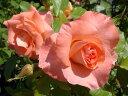 ■送料無料■ 【バラ苗】 リバプールエコー 長尺苗 つるバラ トゲが少ない 四季咲き 強健 バラ 薔薇 【西濃運輸お届け…