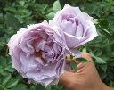 【 2本買って1本無料 】 【バラ苗】 ルシファー 大苗 木立バラ 【河本バラ園】 四季咲き 青紫色 強香 バラ 苗 薔薇 バラ苗木