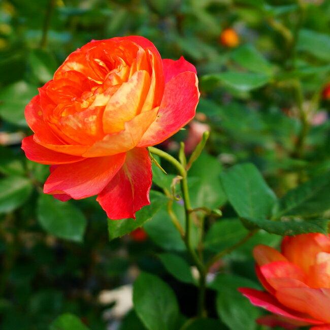 【バラ苗】 ソレイユロマンティカ 大苗 6号ポット ピンク オレンジ 複色咲き バラ 苗 耐病性強 【京成バラ】