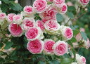 【バラ苗】 つるミミエデン 大苗 つるバラ 【京成バラ】 ピンク 薔薇 バラ苗木 【京成バラ】