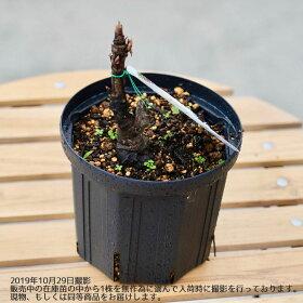 【牡丹】(白色)貴婦人(キフジン)2年生8号ポット大苗