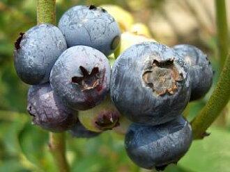 根据系列两年学生苗蓝莓苗蓝莓蓝莓幼苗柯林斯