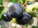 ブルーベリー 苗木 オニール サザンハイブッシュ系2年生苗 ブルーベリー苗 blueberry