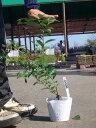 ブルーベリー 苗木 パウダーブルー ラビットアイ系2年生苗 ブルーベリー苗 blueberry