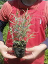 ハーブ 苗 紫花 トルーラベンダー (スパイカナナ) 3号ポット苗