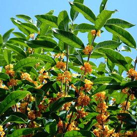 キンモクセイ 根巻き苗 シンボルツリー 生垣 目隠し 庭木 常緑樹
