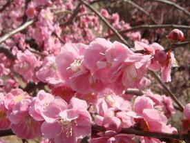 【花梅苗木】しだれ梅 ピンク 2年生 接ぎ木 苗 落葉樹 シンボルツリー 【観賞花木】