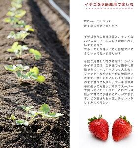 いちご苗【四季成り性】めちゃデカッ!いちご3号ポット苗【小梱包】イチゴ苺