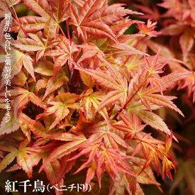 モミジ 紅千鳥(ベニチドリ) テーブルサイズ 鉢苗 落葉樹 もみじ 苗 観葉植物