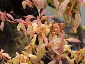 トウカエデ 花散里 ( ハナチルサト ) メープルレインボー ポット苗 庭木 落葉樹 シンボルツリー もみじ 苗