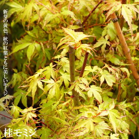 モミジ 桂(カツラモミジ) テーブルサイズ 鉢苗 落葉樹 もみじ 苗 観葉植物