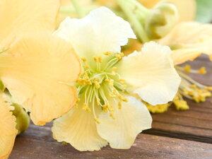 【マック (オス)】 ゴールド、レッドキウイの受粉樹 1年生 接ぎ木 苗木