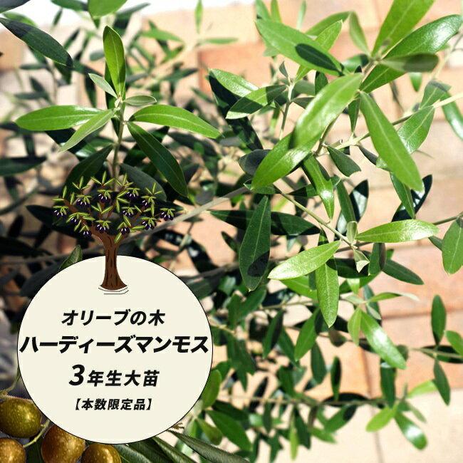 【愛知県産】 オリーブ 苗 苗木 オリーブの木 ハーディーズマンモス 3年生 地中ポット苗 シンボルツリー 庭木 常緑樹