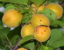 ■限定販売■ アンズ 苗木 大実アンズ おひさまコット(サニーコット) 2年生 接ぎ木 ロングスリット 鉢植え 果樹 果…