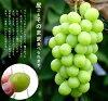 特别有限股票 ♦ ♦ 葡萄苗种子的果实生产级岩屑 (自根苗) 水果树苗苗葡萄水果