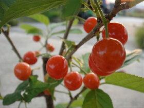 暖地さくらんぼの果実の様子